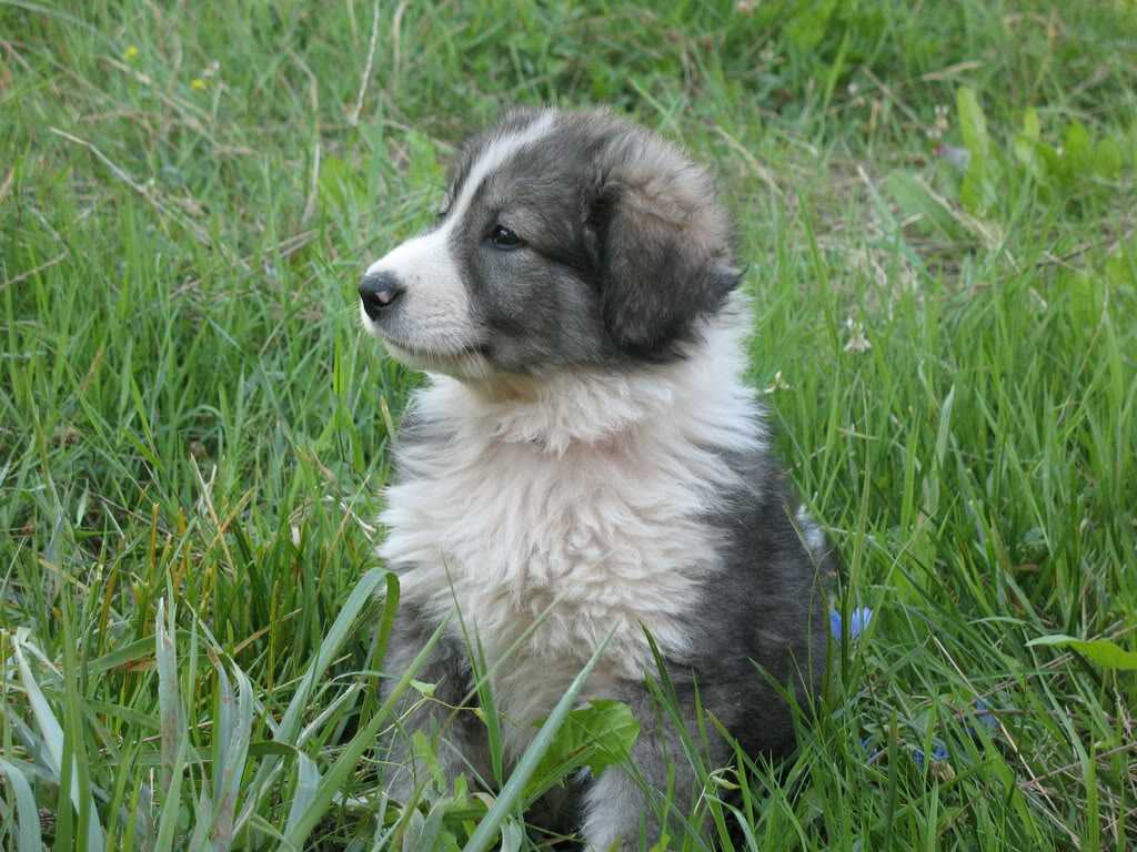 Italian Shepherd Dog Carpathian shepherd dog