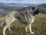 Carpathian Shepherd dog in the mountains