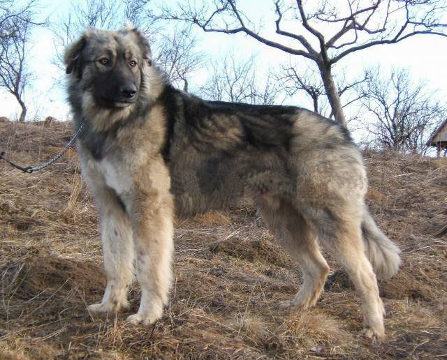 Carpathian Shepherd Dog wallpaper