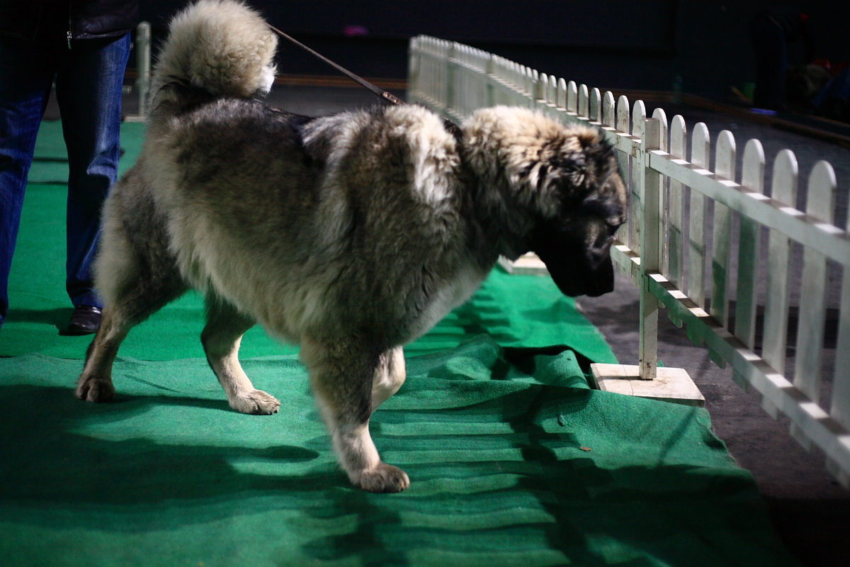 Caucasian Shepherd Dog on the dog show wallpaper