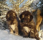 Caucasian Shepherd dogs winter