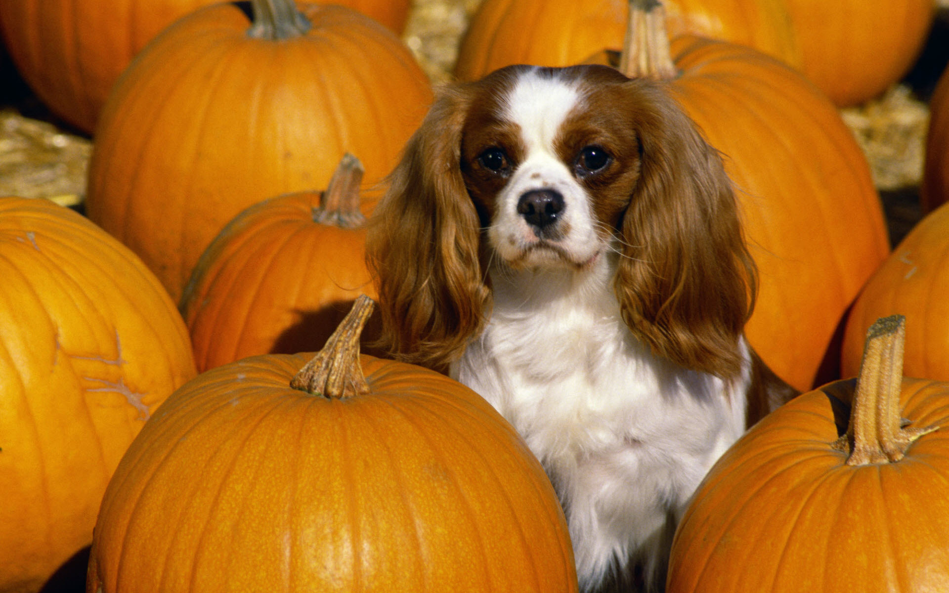 Cavalier King Charles Spaniel dog and pumpkins wallpaper