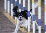 Cavalier King Charles Spaniel trains