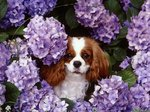 Cavalier King Charles Spaniel with flowers