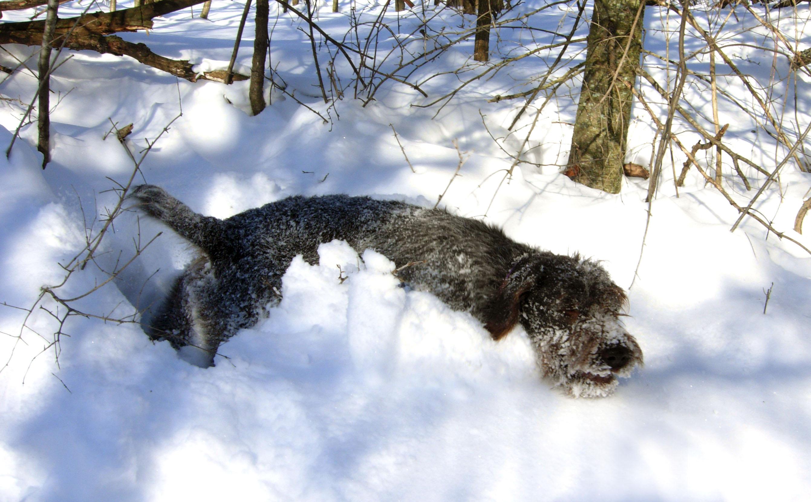 Чешский фоусек в снегу фото