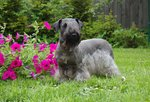 Cesky Terrier dog on the grass