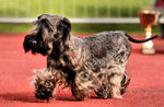 Cesky Terrier walking on the dog show