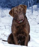 Chesapeake Bay Retriever dog on the snow