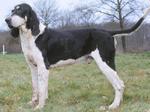 Chien Franсais Blanc et Noir dog
