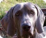 Chien-gris dog