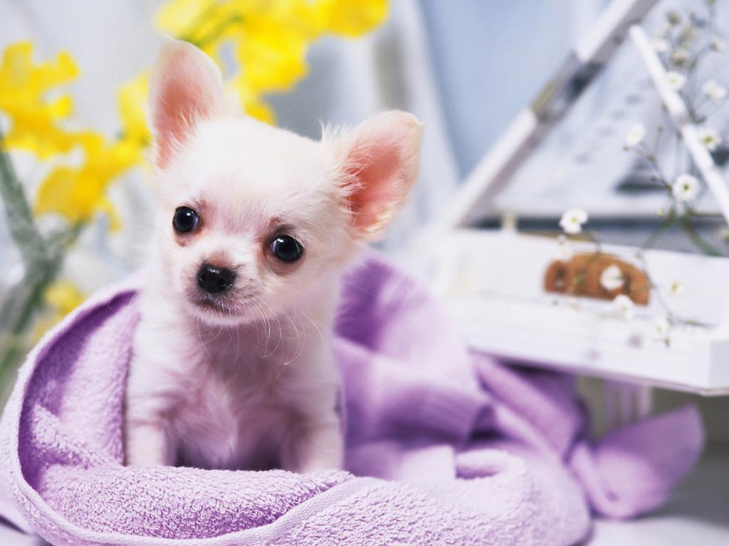 Chihuahua dog girl wallpaper