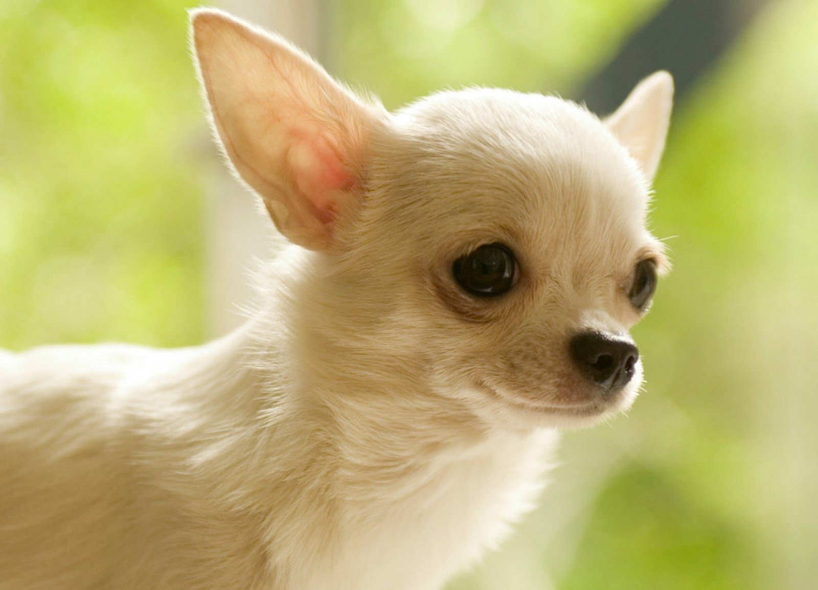Chihuahua dog wallpaper