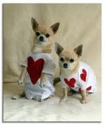 Chihuahua dogs valentine's day