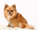 Chihuahua portret
