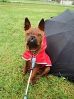 Китайская собака чунцин и зонт