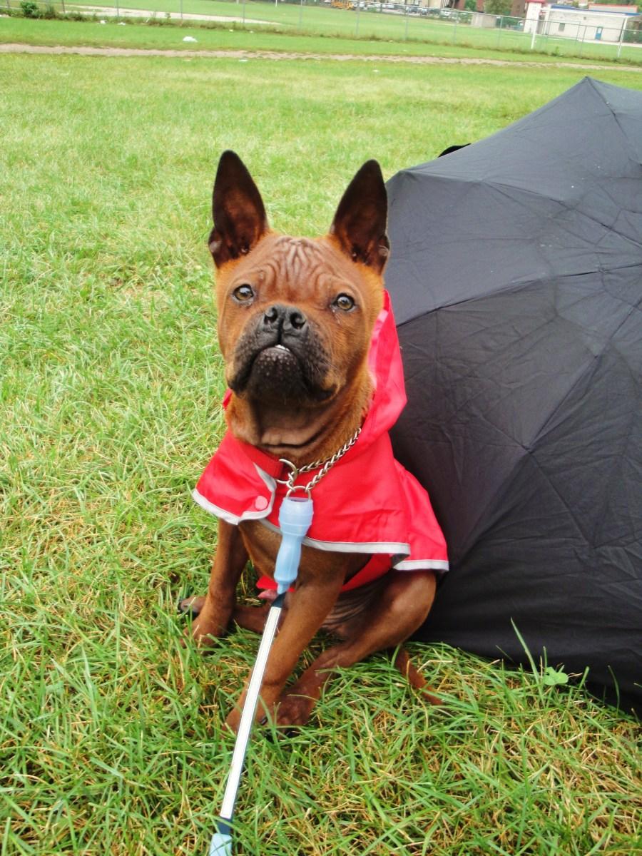 Китайская собака чунцин и зонт фото