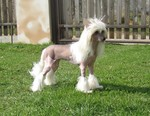 Chinese Crested dog on the grass