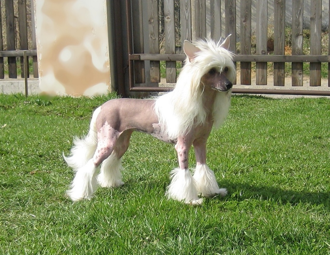 Chinese Crested dog on the grass photo and wallpaper ...