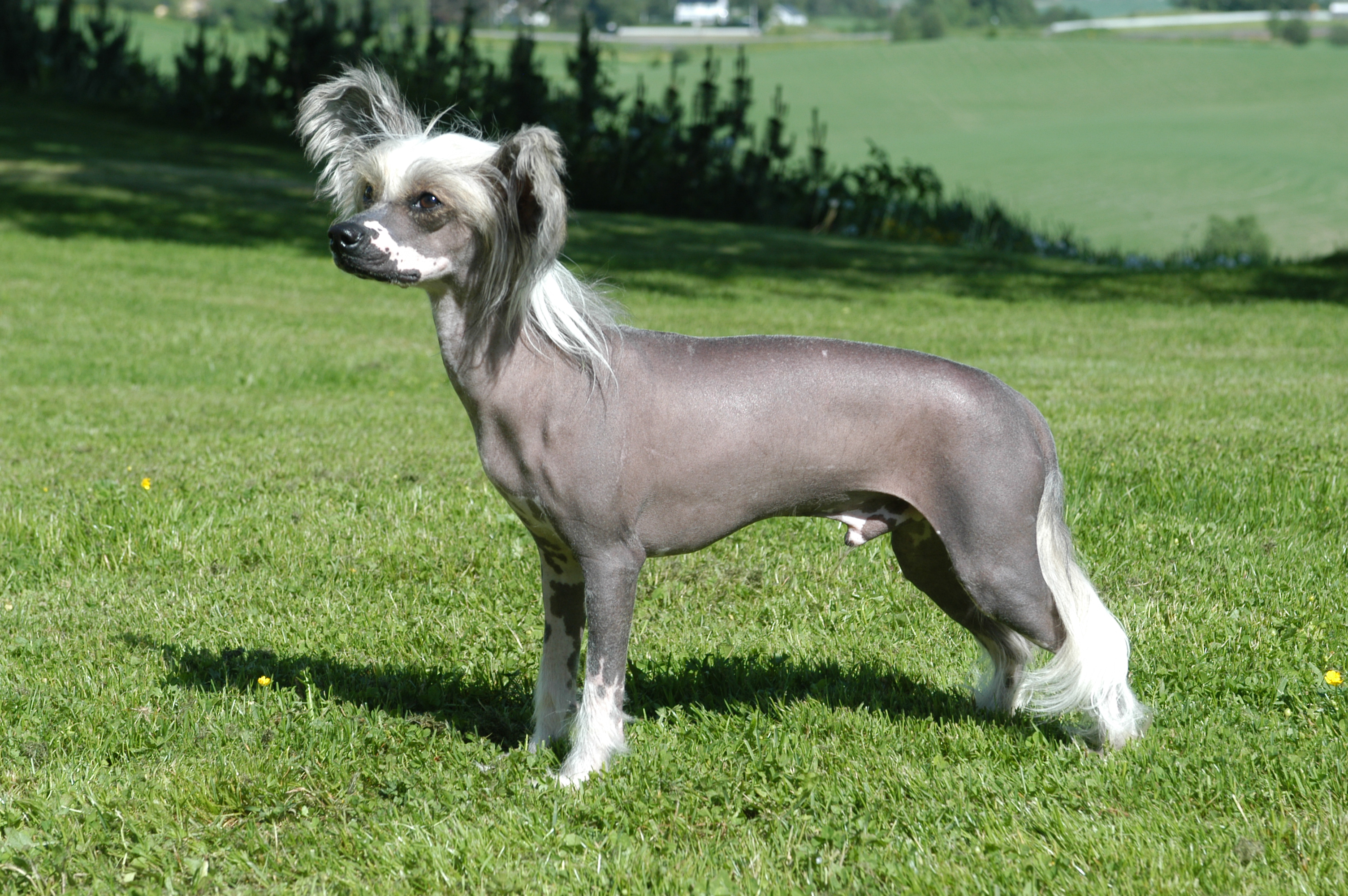 chinese crested dog photos and wallpapers the beautiful