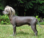 Chinese Crested dog side view