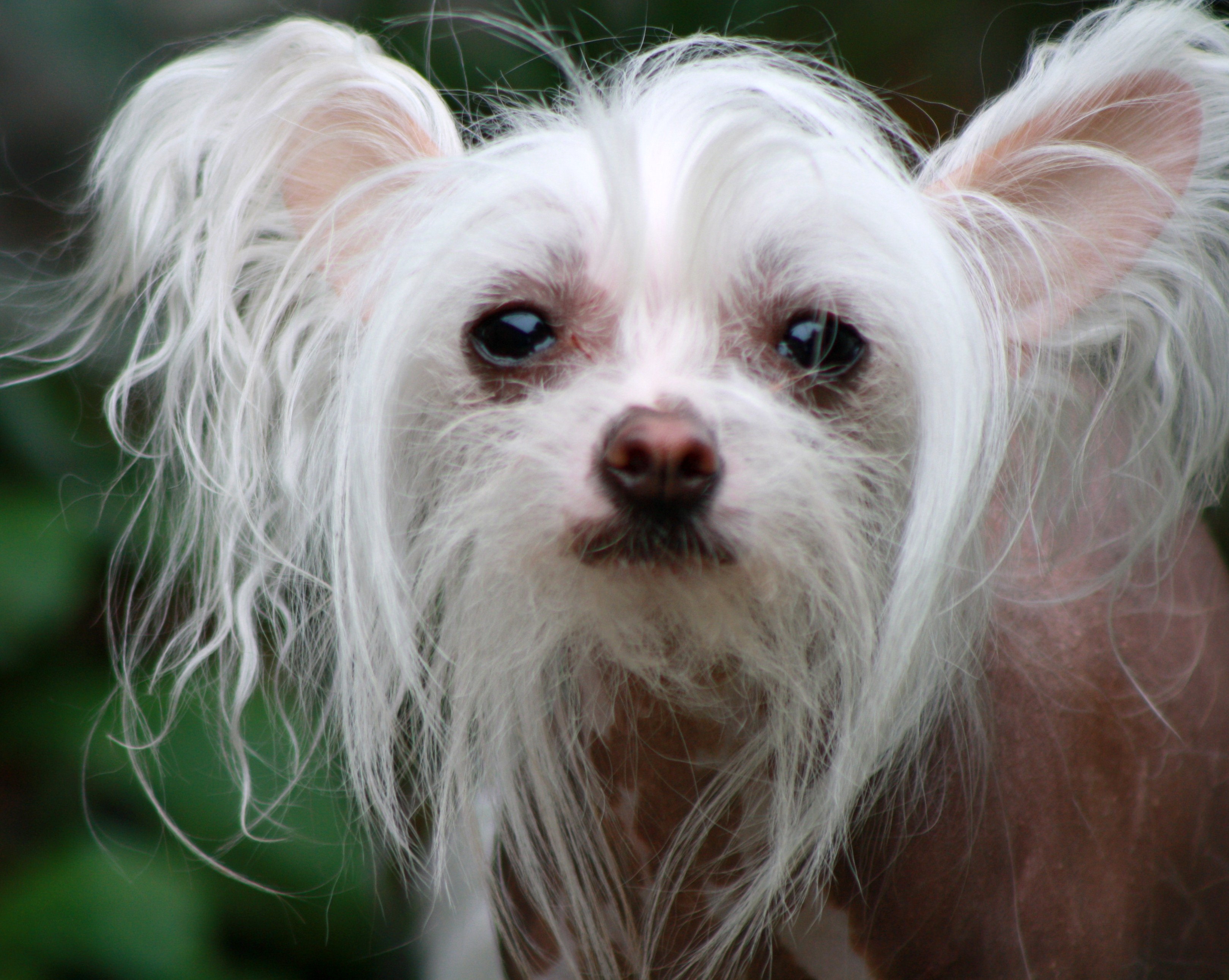 Chinese Crested dog wallpaper