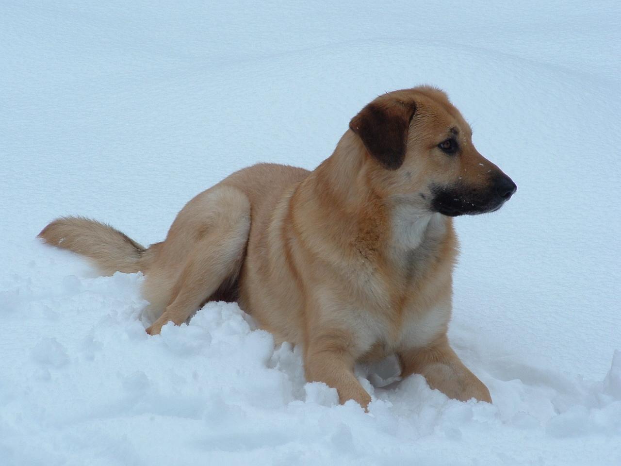 Собака чинук на снегу фото