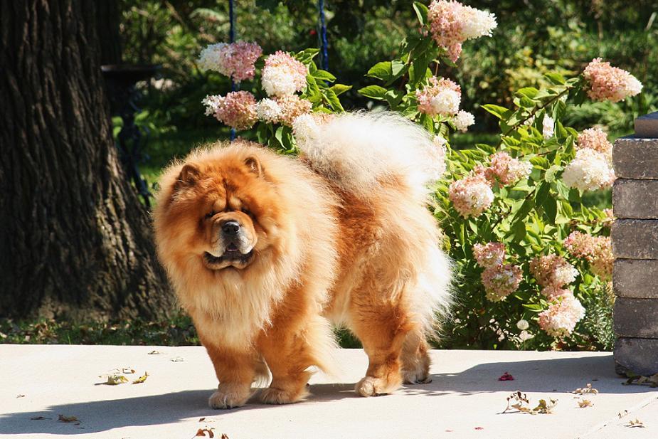 Собака чау-чау и цветы фото