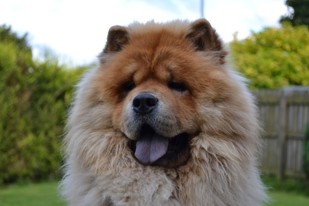 Chow chow dog face wallpaper