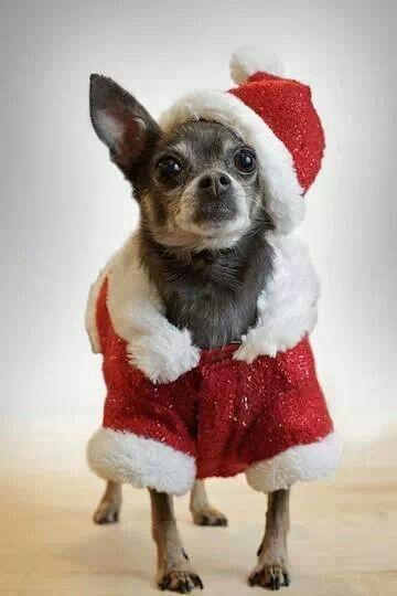 Christmas Chihuahua dog wallpaper