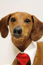 Christmas Dachshund in a tie
