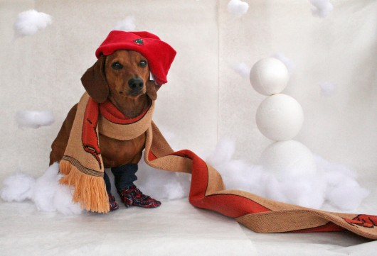 Christmas Dachshund portrait wallpaper