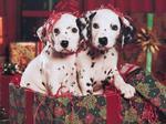 Christmas Dalmatian dogs