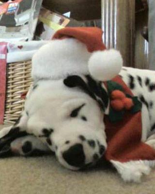 Christmas Dalmatian sleeps wallpaper