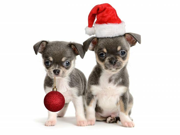 Τι διαφορετικό έχουν οι σκύλοι Chihuahua;