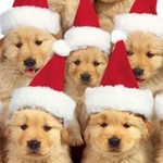Christmas Golden Retriever dogs