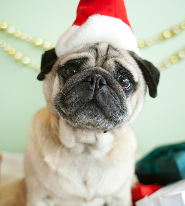 Christmas Pug dog face фото