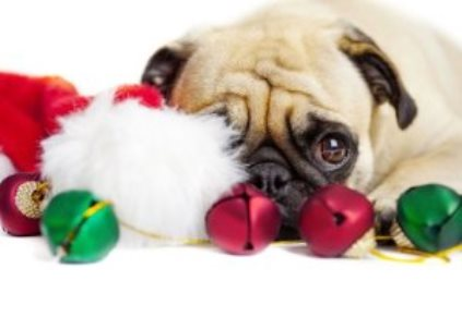 Christmas Pug dog misses фото