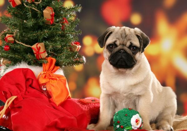 Christmas Pug dog wallpaper