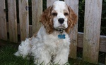 Clumber Spaniel dog in the yard