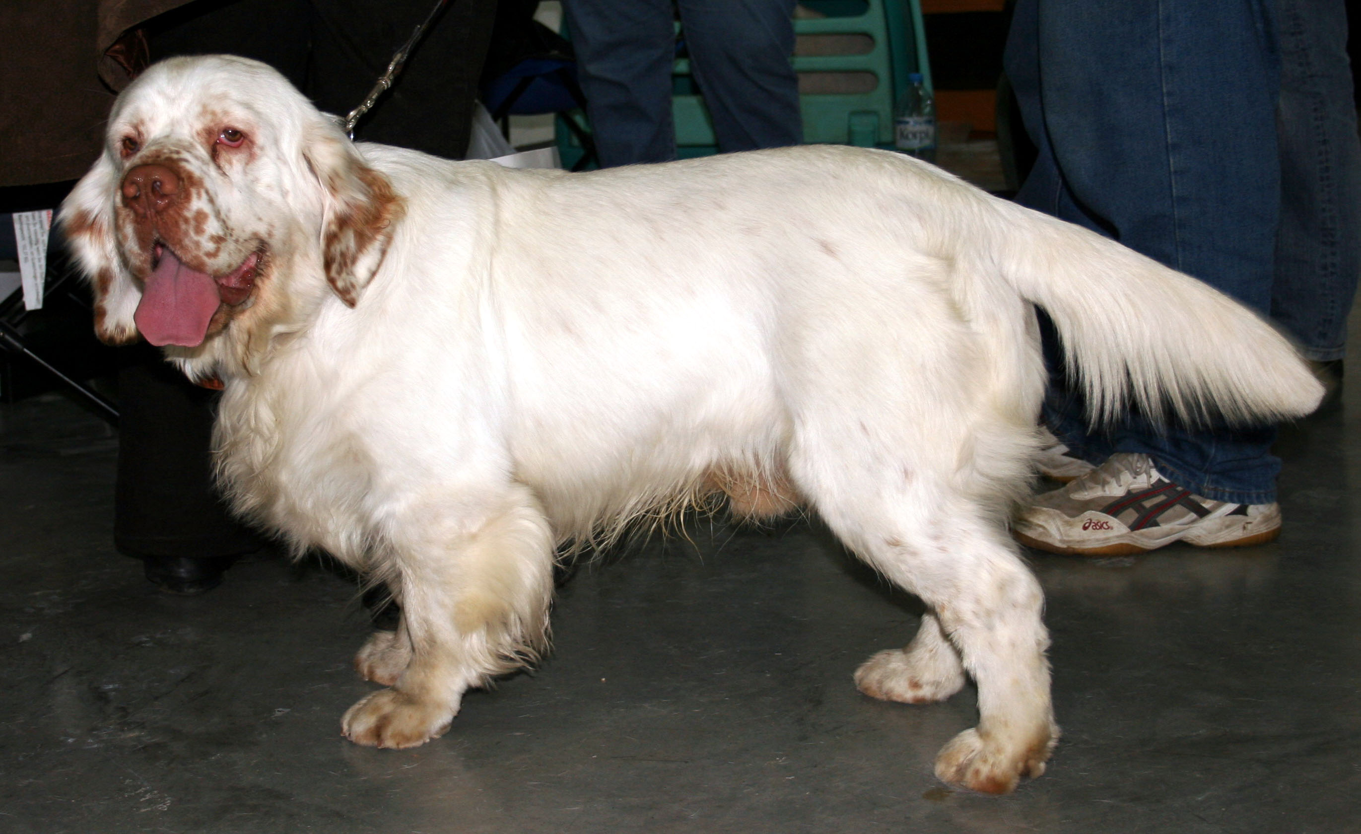 Clumber Spaniel wallpaper
