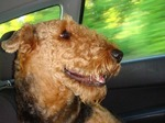 Coll Airedale Terrier in the car