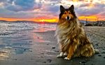 Collie Rough dog at the sunset