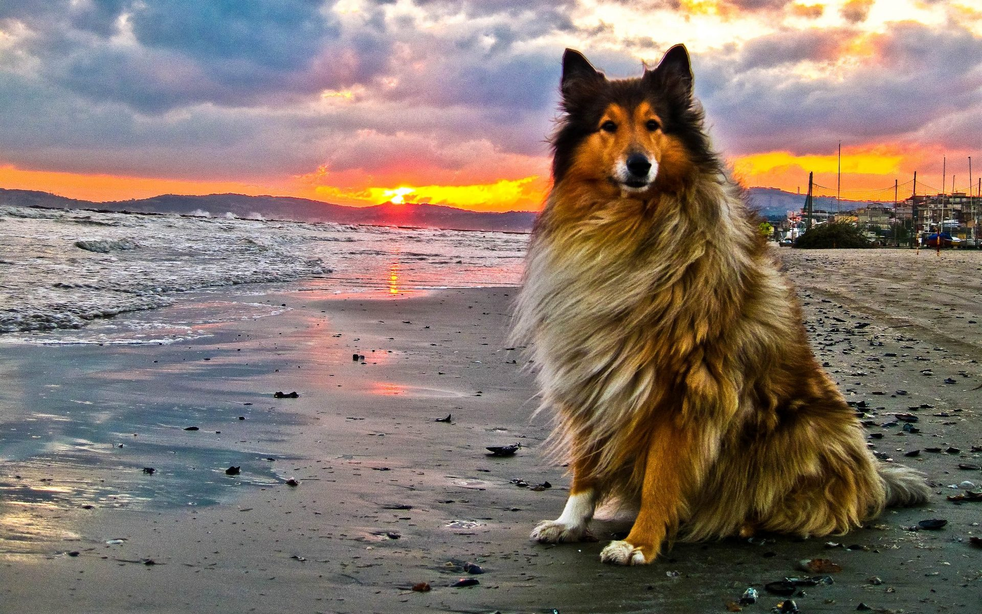 Collie Rough dog at the sunset wallpaper