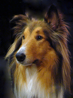 Collie Rough dog face
