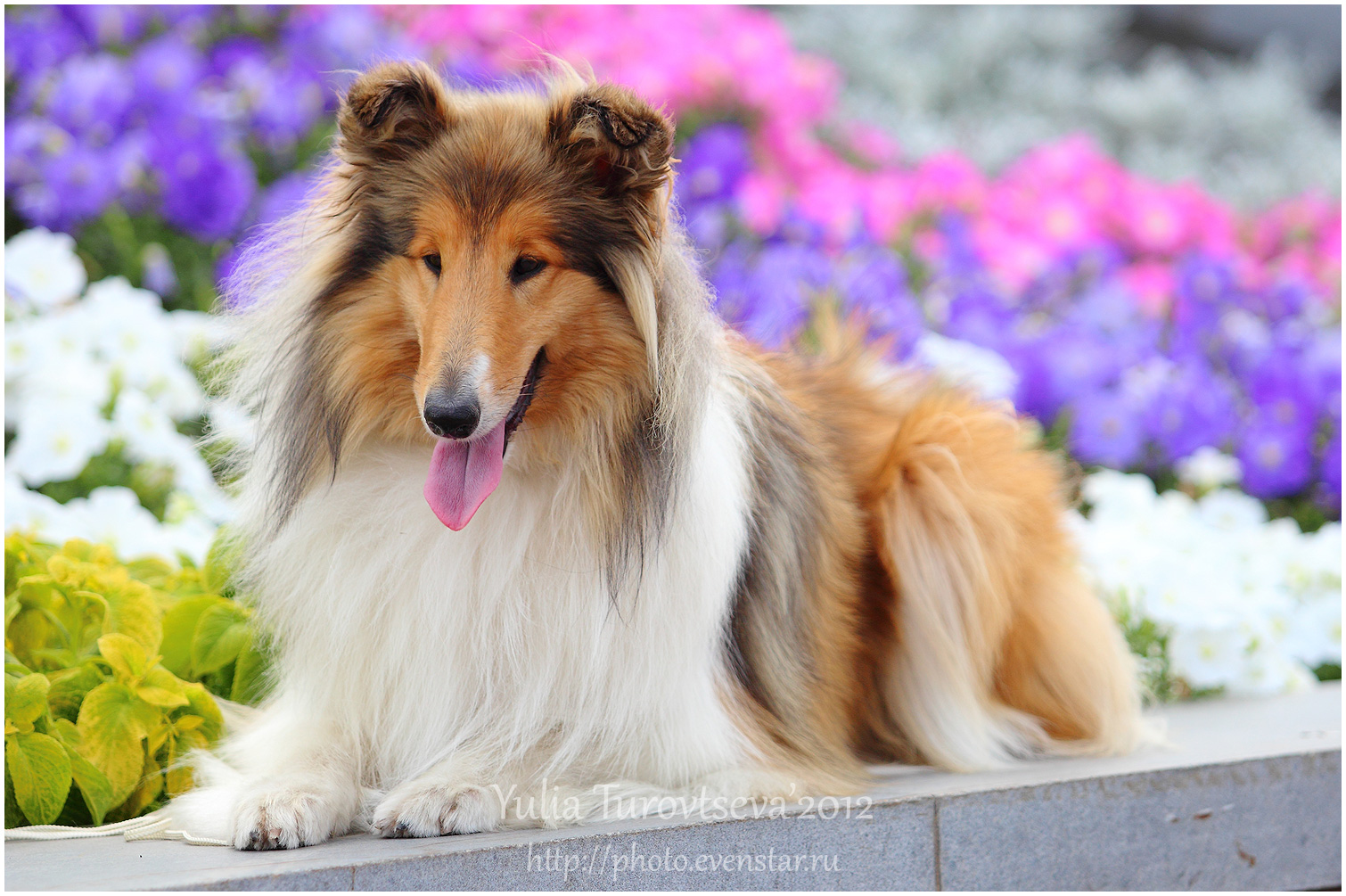 Collie Rough dog in flowers wallpaper