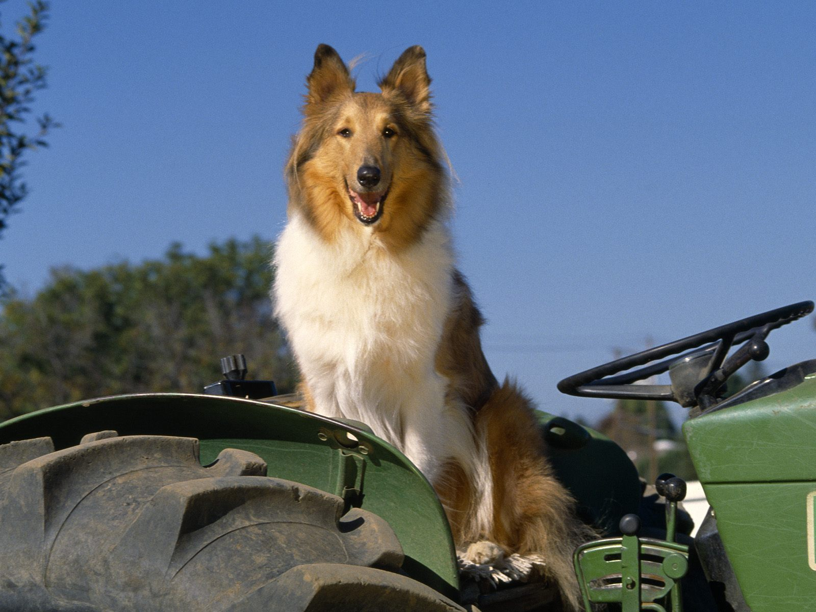 Collie Rough dog on the tractor wallpaper