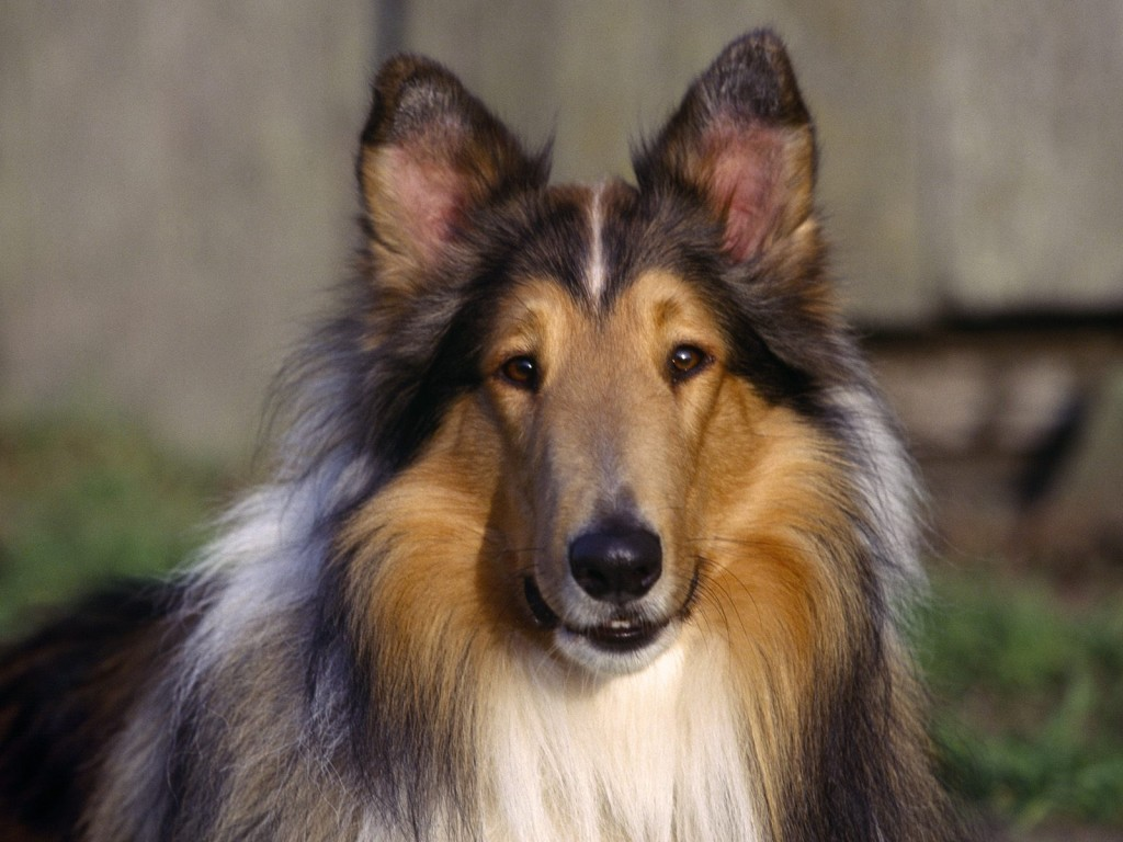 Collie Rough dog wallpaper