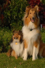 Collie Rough dogs family portrait