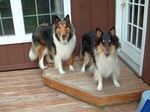 Collie Rough dogs
