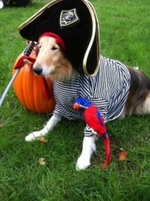 Collie,Rough pirate